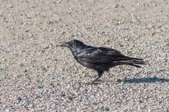 沙漠乌鸦 免版税图库摄影