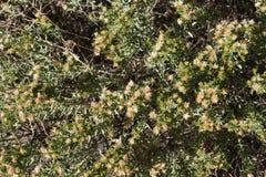 沙漠刷子关闭在西南新墨西哥 库存图片