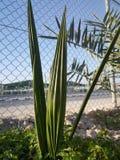 沙漠区域的自然日期植物 免版税库存照片