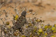 沙漠变色蜥蜴的宏指令 库存照片