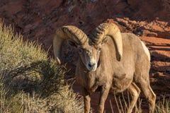 沙漠吃草大角野绵羊的Ram 免版税库存照片