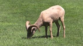 沙漠吃草比格霍恩的Ram 免版税图库摄影