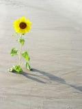 沙漠向日葵 库存图片