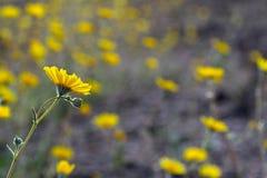 沙漠向日葵(Geraea canescens),死亡谷国家公园,美国 免版税库存照片