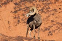 沙漠回顾大角野绵羊的Ram 免版税库存照片