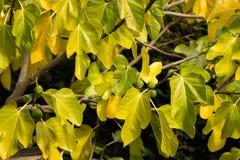 沙漠国王无花果树在秋天 免版税库存图片