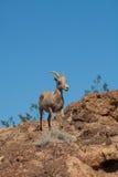 沙漠在岩石的大角野绵羊母羊 库存图片