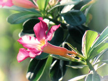 沙漠在庭院里上升了,飞羚百合,假装杜娟花,在一棵树 例证百合红色样式葡萄酒 免版税库存图片