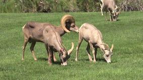 沙漠在车轮痕迹的大角野绵羊 库存照片