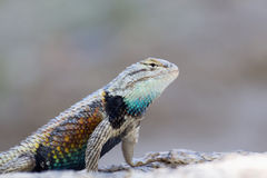 沙漠多刺的蜥蜴 库存图片