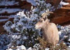 沙漠大有角的绵羊母羊在积雪的灌木中站立在锡安国立公园 库存照片