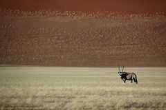 沙漠大羚羊羚羊属红色sossusvlei 库存照片