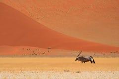 沙漠大羚羊 免版税库存照片