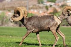 沙漠大角野绵羊公羊走 库存照片