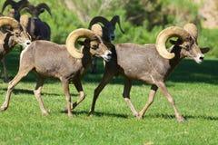 沙漠大角野绵羊公羊 库存图片