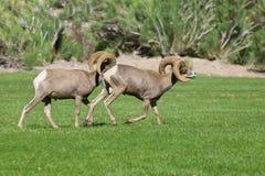 沙漠大角野绵羊公羊 免版税图库摄影