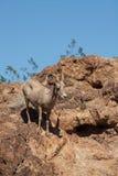沙漠大角野绵羊母羊 库存图片