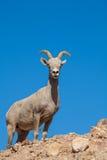 沙漠大角野绵羊母羊 免版税库存照片