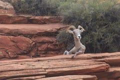 沙漠大角野绵羊 图库摄影
