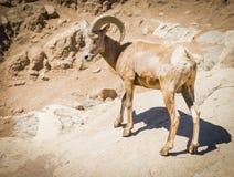 沙漠大角野绵羊 库存图片