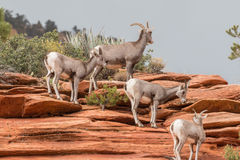 沙漠大角野绵羊 库存照片