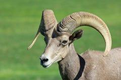 沙漠大角野绵羊Ram关闭 库存照片