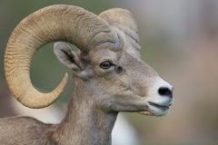 沙漠大角野绵羊Ram画象 免版税库存照片