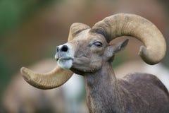 沙漠大角野绵羊Ram画象 免版税库存图片