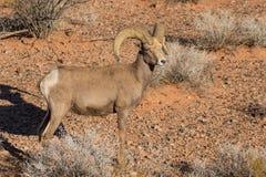 年轻沙漠大角野绵羊Ram 免版税图库摄影