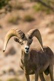 沙漠大角野绵羊Ram头 免版税库存照片