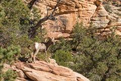 沙漠大角野绵羊Ram 免版税库存图片