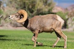 沙漠大角野绵羊Ram Flehming 免版税图库摄影