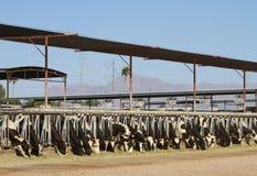 沙漠奶牛场: 享受膳食 免版税图库摄影