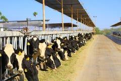沙漠奶牛场: 可口新鲜的草料 免版税库存图片