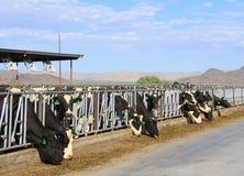 沙漠奶牛场 库存照片