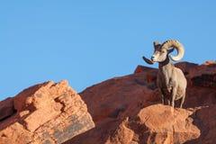沙漠岩石的大角野绵羊Ram 免版税库存照片