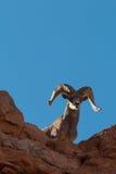 沙漠岩石的大角野绵羊Ram 图库摄影