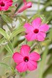 沙漠座莲是明亮色花 库存图片