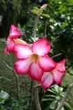 沙漠座莲桃红色 库存照片