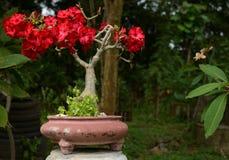沙漠座莲,飞羚百合、假装杜娟花树或者Adenium obesum 库存照片
