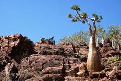 沙漠座莲,索科特拉岛 免版税库存照片