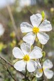 沙漠座莲Halimium umbellatum的花 库存照片