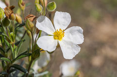 沙漠座莲Halimium umbellatum的花 免版税图库摄影