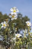 沙漠座莲Halimium umbellatum的花 免版税库存图片