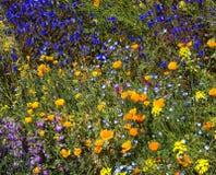 沙漠春天野花 库存图片