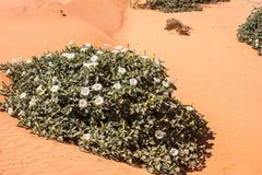 沙漠曼陀罗 库存照片