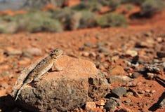 沙漠有角的蜥蜴团结的内华达状态 免版税图库摄影