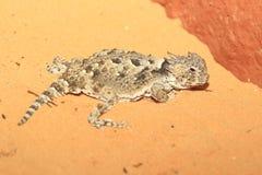 沙漠有角的蜥蜴 免版税库存照片