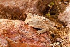 沙漠有角的蜥蜴 库存图片