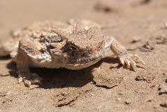 沙漠有角的蜥蜴 库存照片
